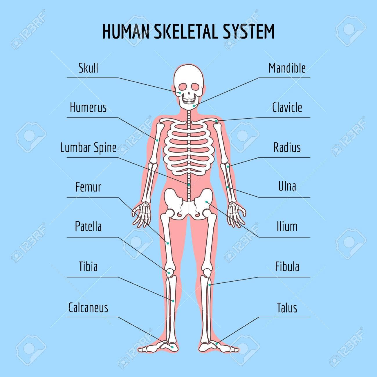 Sistema Esquelético Humano. Vector Ilustración De La Anatomía De ...