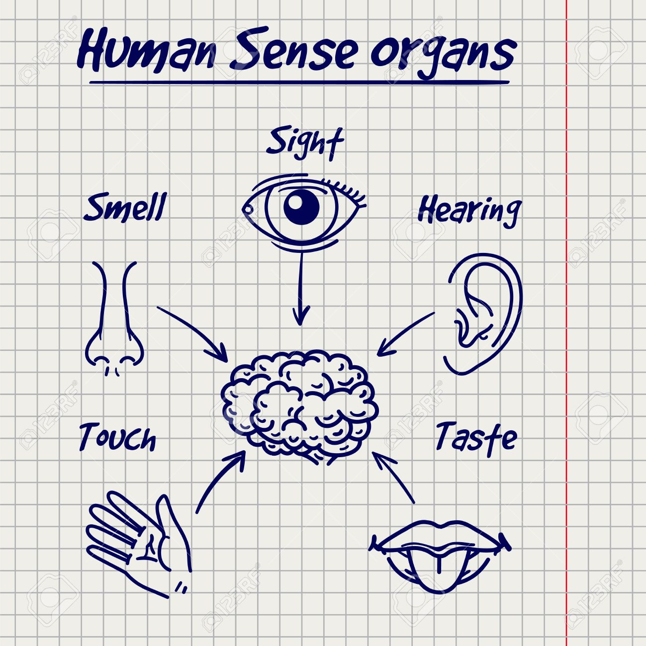 Synopsis Of Human Sense Organs On Notebook Page Background. Vector ...