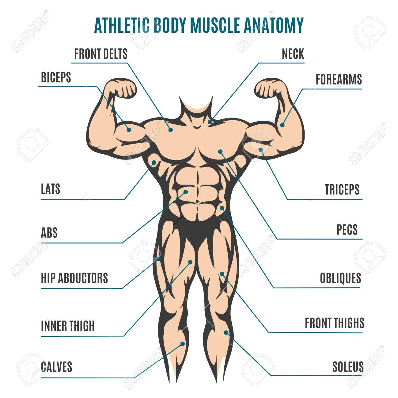 Athletic Body Man Figure Muscular Anatomy Vector Illustration