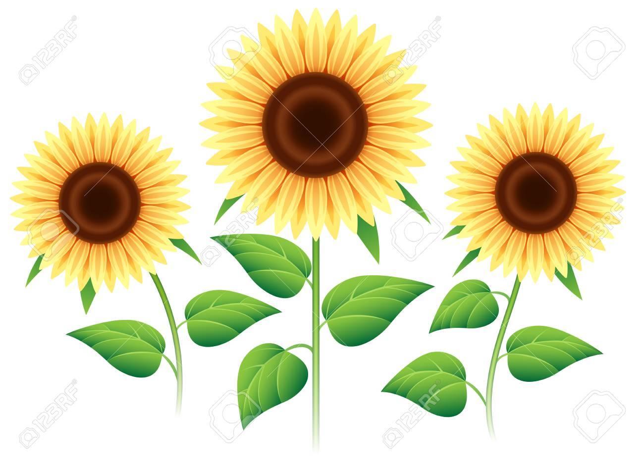Sunflower Set Isolated On White Background Vector Cartoon Sunflowers Plants For Summer Invitation Stock