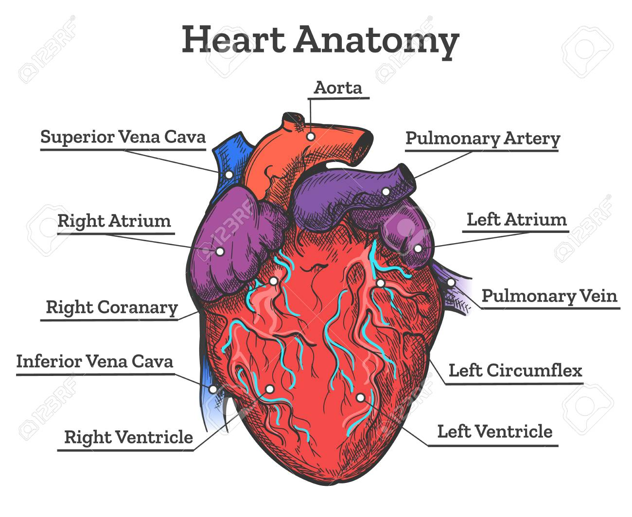 Heart Anatomy Colored Sketch. Anatomic Human Cardiac Muscle Diagram ...