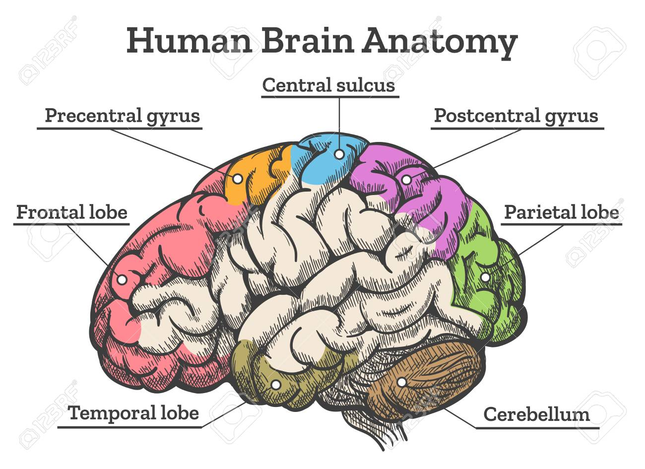 Human Brain Anatomy Diagram Sections Of Head Brain Vector