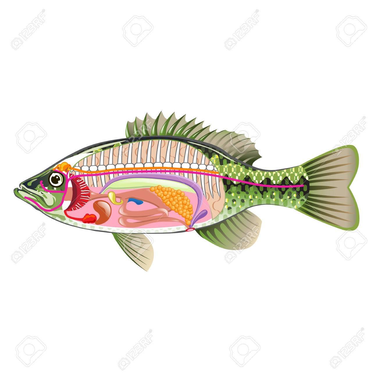 Fish órganos Internos Arte Vectorial De Diagrama De Anatomía Y Sin ...