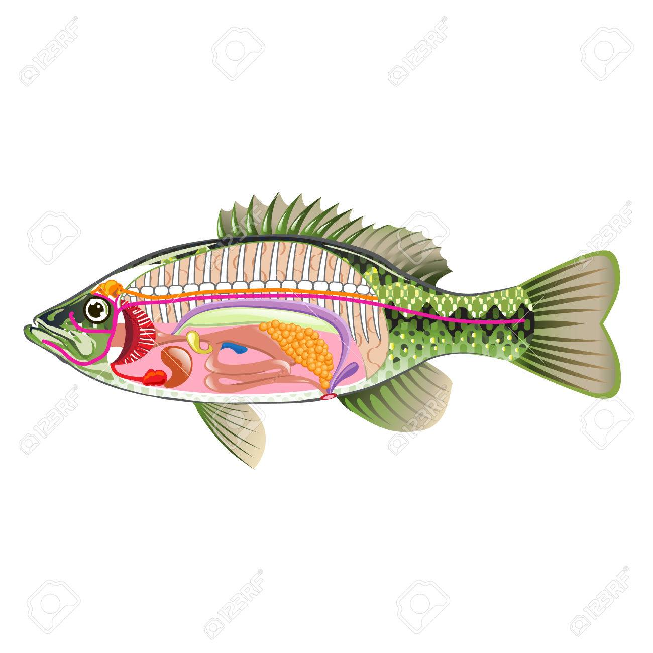 Fish Internal Organs Vector Art Diagram Anatomy Without Labels ...