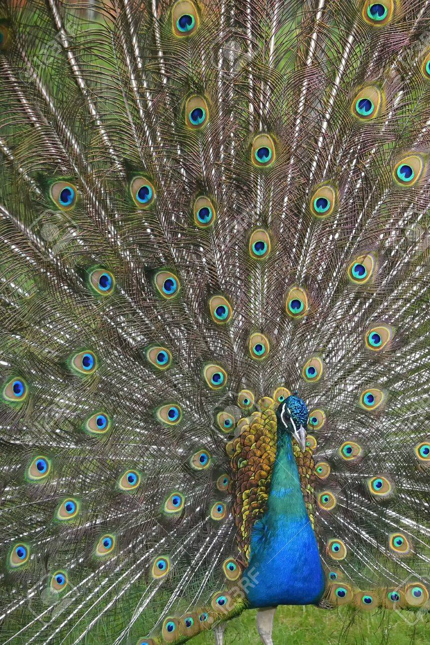 Peafowl with tail ( green and blue eyespots colors) - 54730290