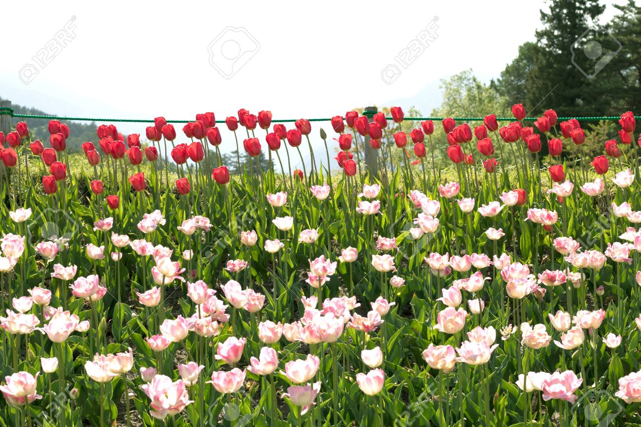 Beautiful Tulip Flowers In Spring Colourful Tulips In The Garden