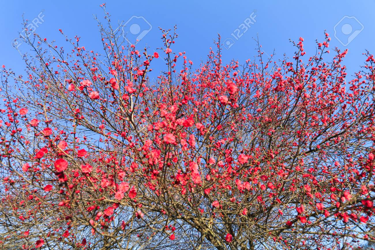 Blooming Beautiful Red Flower In The Springjapanese Plum Blossoms
