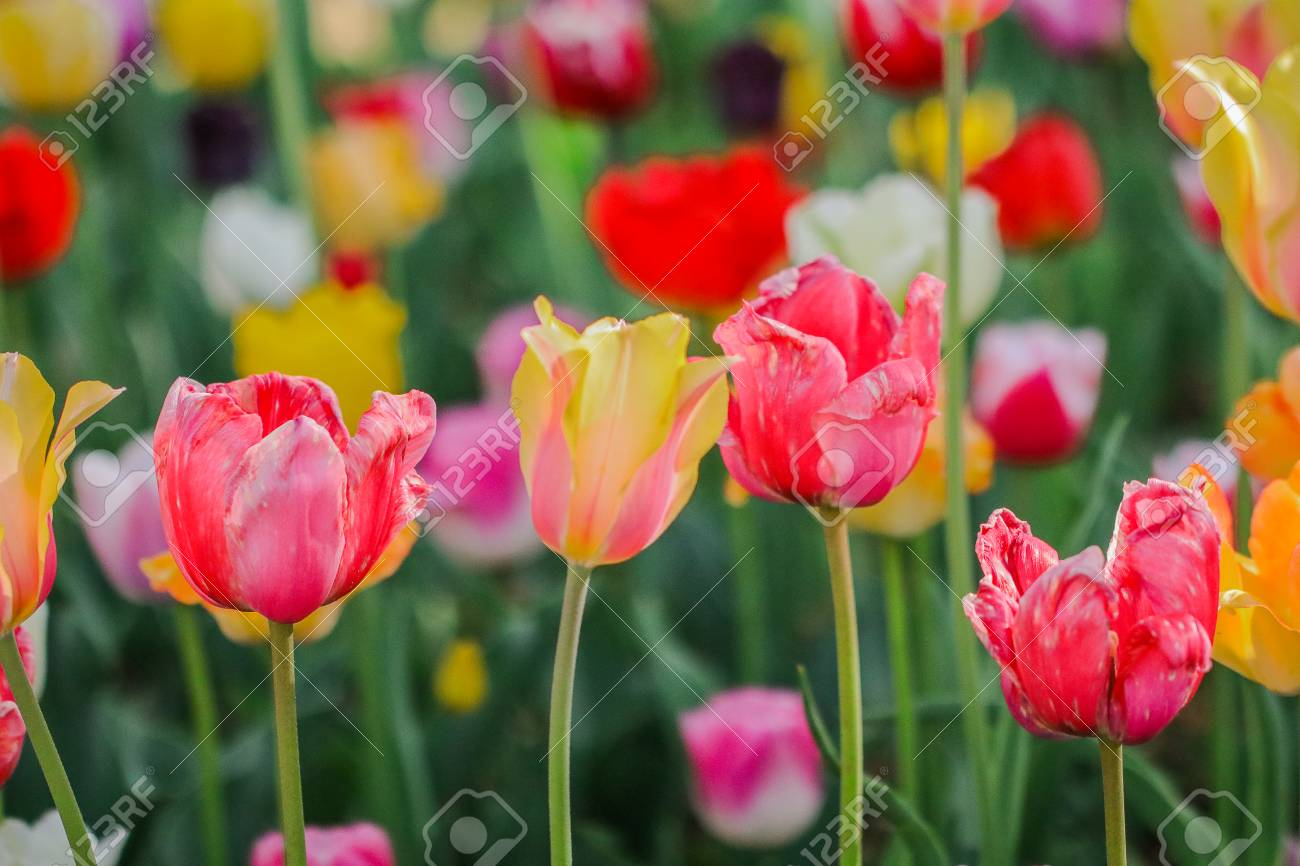 Beautiful Tulip Flowers Blooming In Spring Day Stock Photo