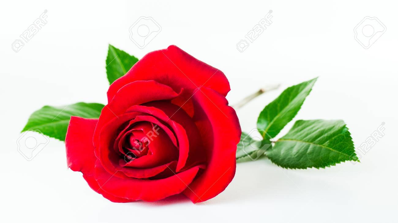 Unique Fleur Rose Rouge Isole Sur Fond Blanc Banque D Images Et