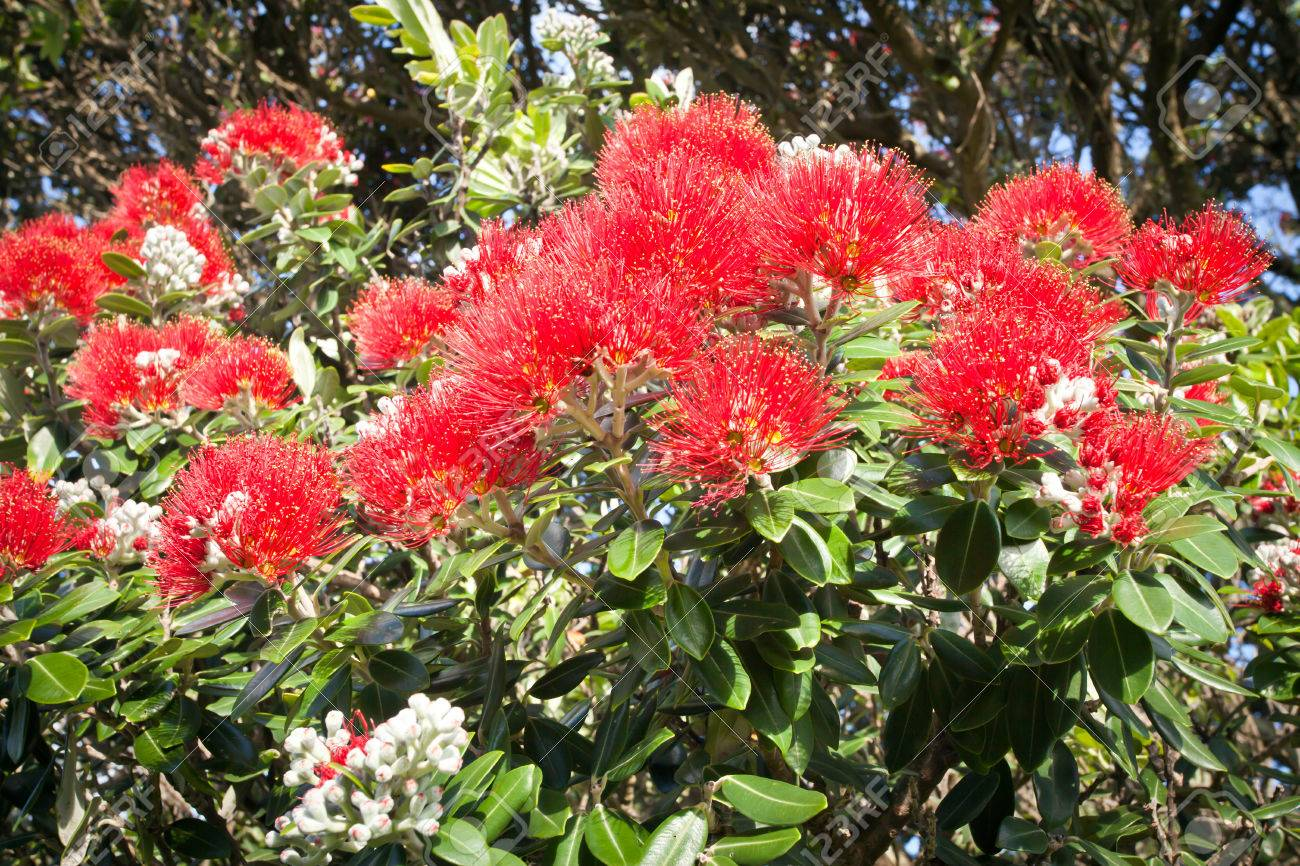 New Zealand Christmas Tree.Pohutukawa The Coastal New Zealand Christmas Tree Blooming A