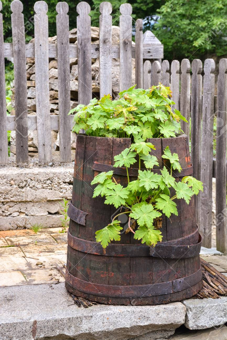 Green vegetation in an old barrel in the backyard Stock Photo - 20863133