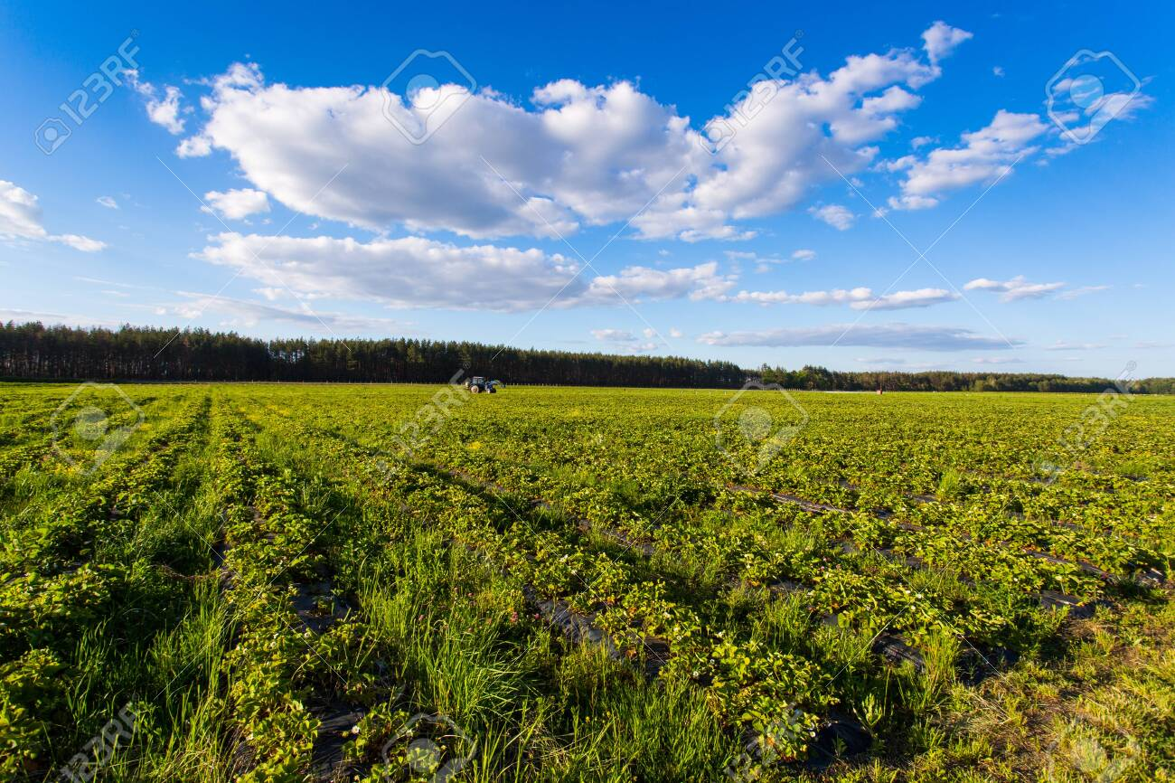 shrub of blueberries, bushes with future berries against the blue sky. Farm with berries. Ukraine. - 129166178