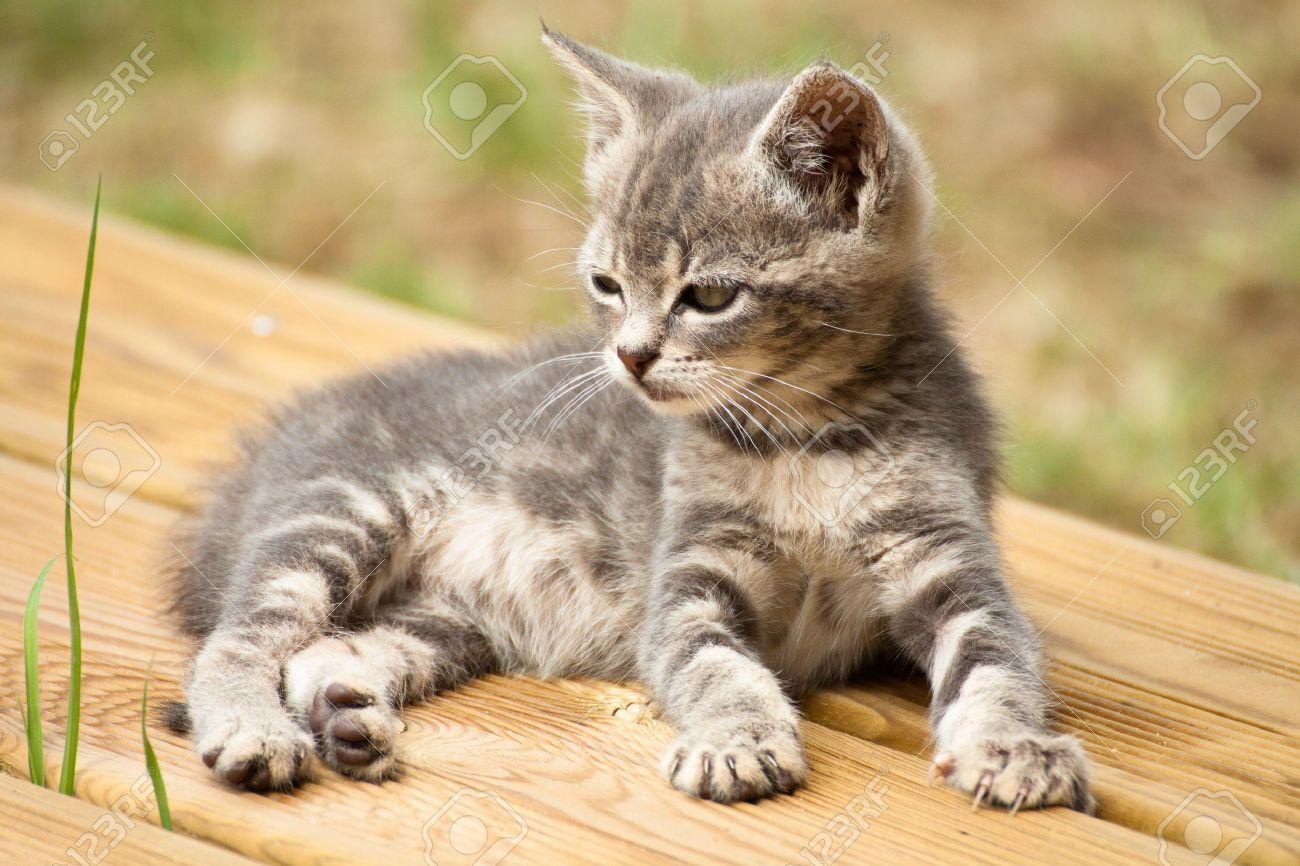 Foto de archivo , Un gato gris y blanco bebé acostado en una terraza de madera