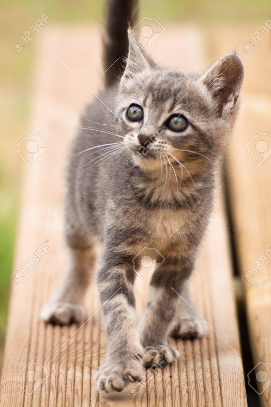 Foto de archivo , Un divertido gato gris bebé blanco caminando y mirando hacia arriba