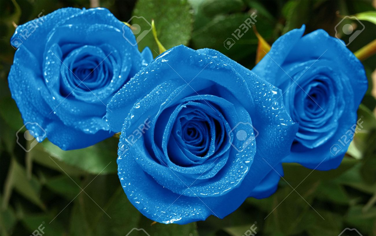 three beautiful blue roses with water drops stock photo picture
