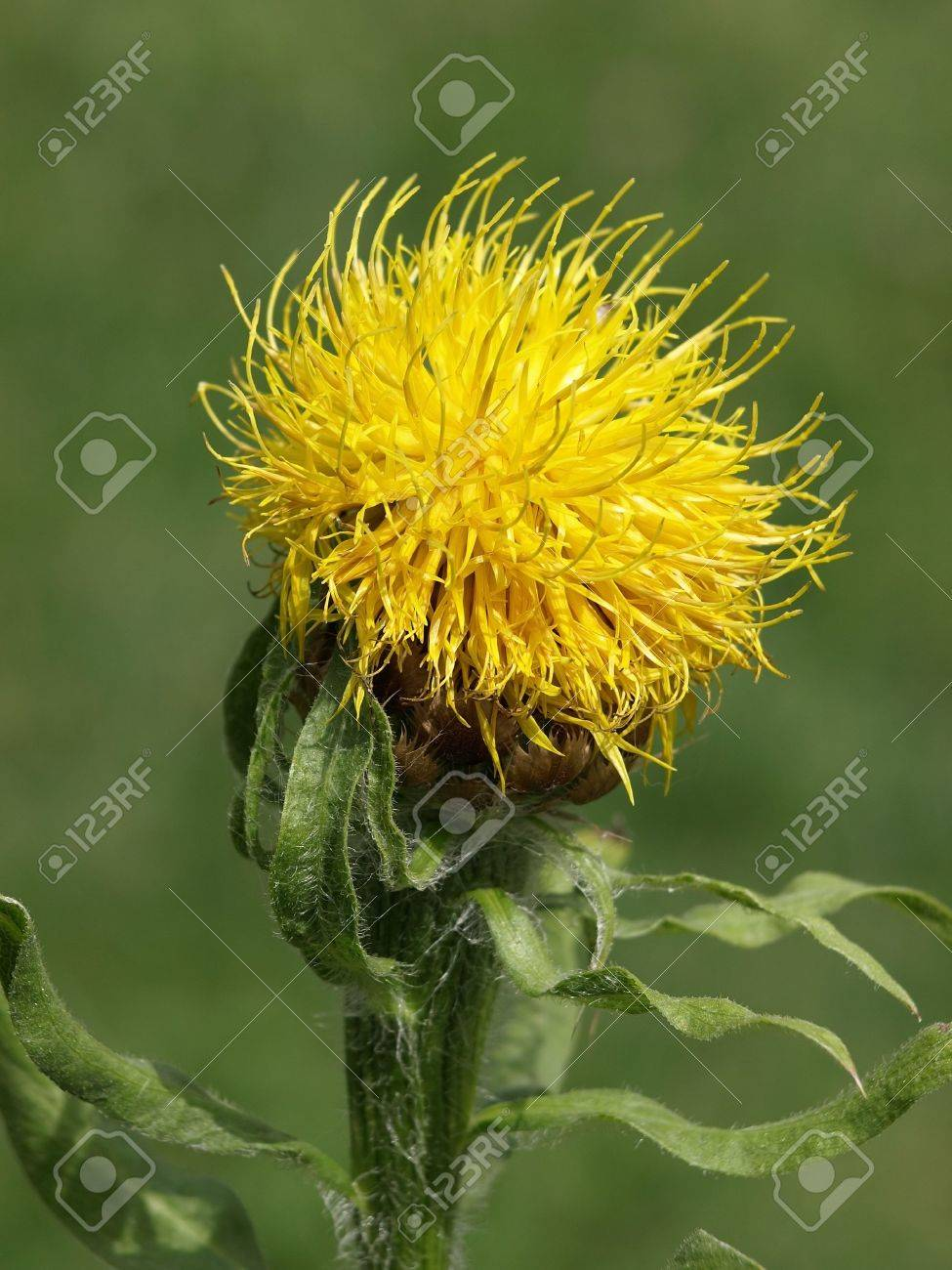 Yellow thistle flower on a sunny day stock photo picture and stock photo yellow thistle flower on a sunny day mightylinksfo