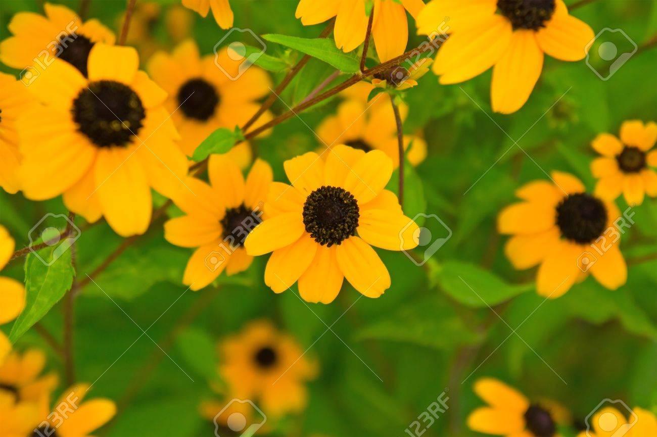 Bright Yellow Flowers Background In Summer Season Stock Photo