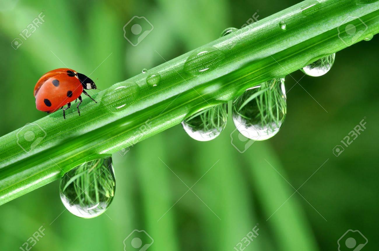 fresh morning dew and ladybird Stock Photo - 8927953