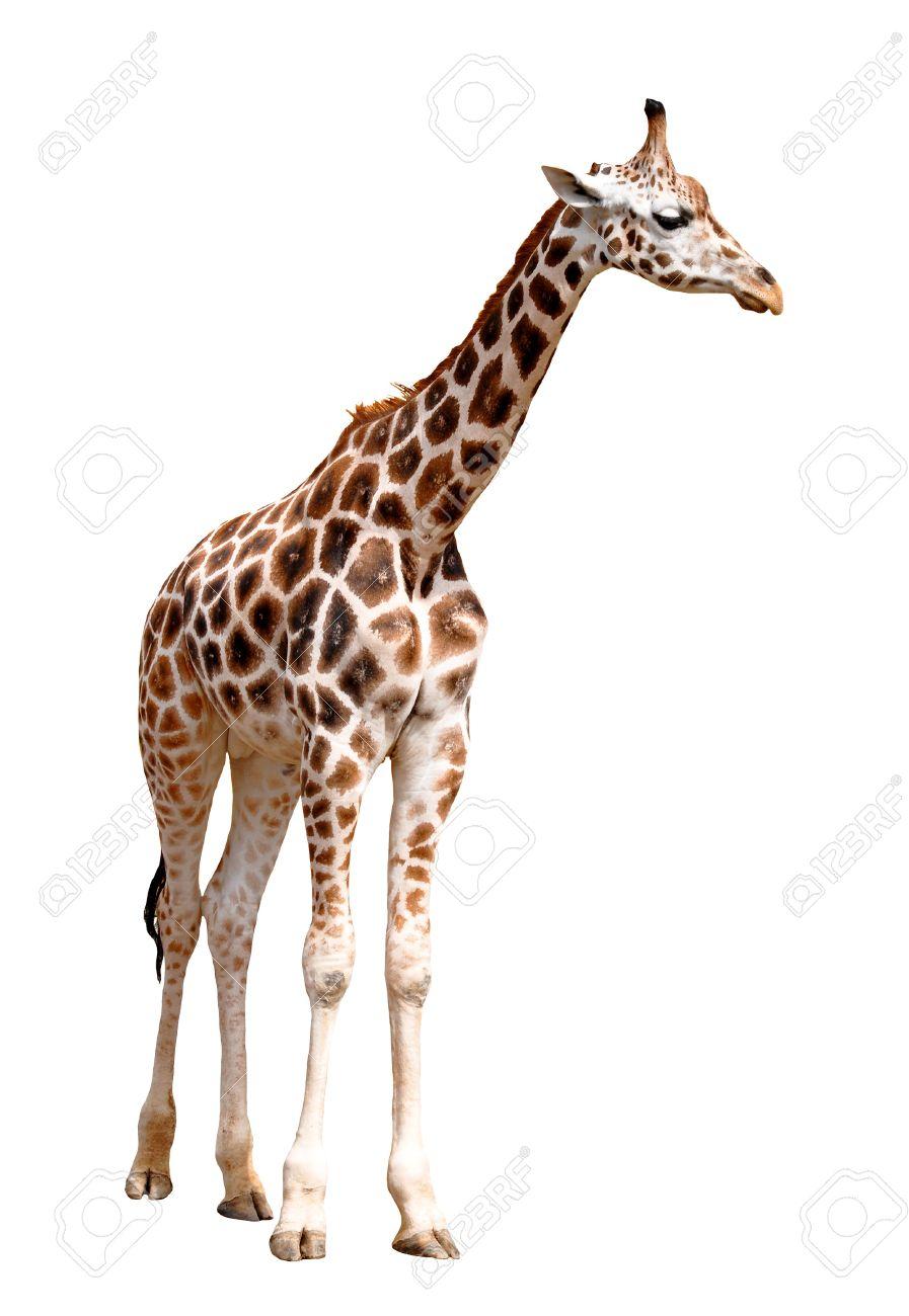 giraffe isolated Stock Photo - 10522121