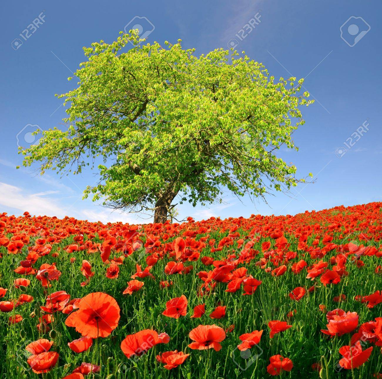 Spring landscape with red poppy Stock Photo - 11744409