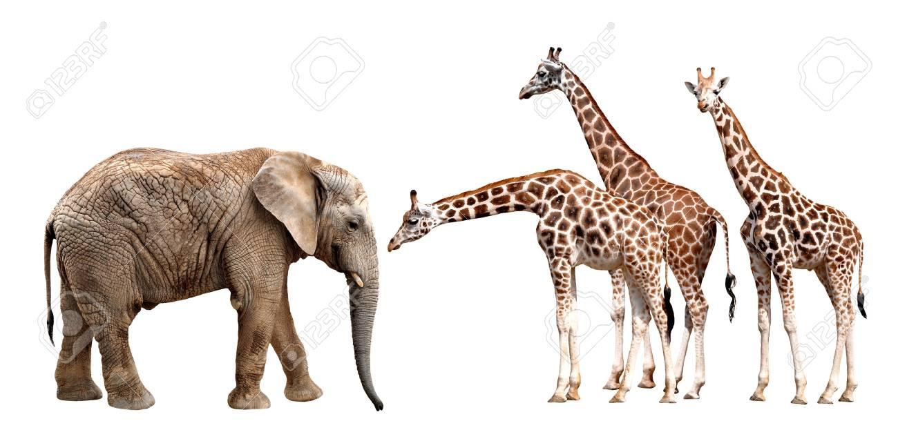 giraffes with elephant isolated on white Stock Photo - 16304145