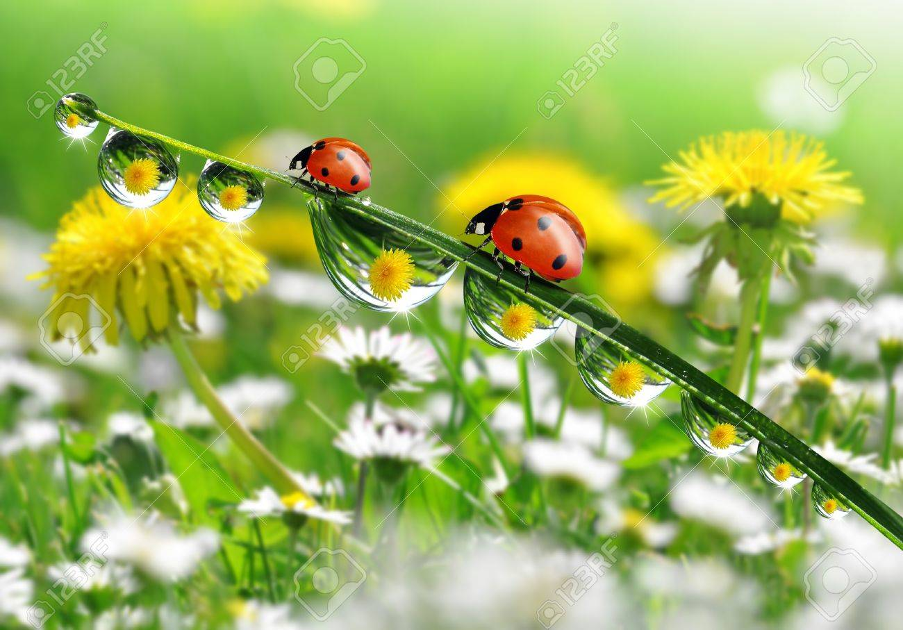 fresh morning dew and ladybird Stock Photo - 17071386