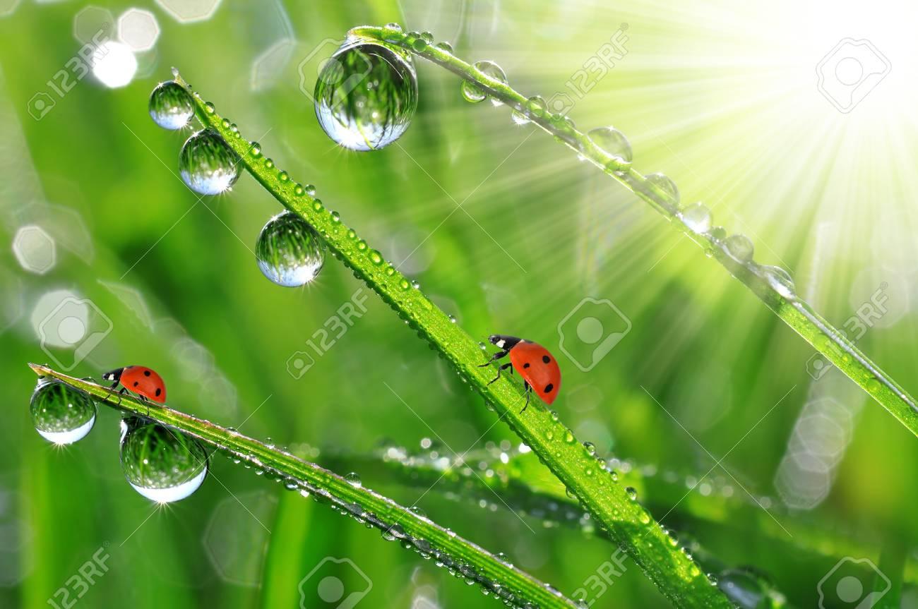 fresh morning dew and ladybird Stock Photo - 17395462