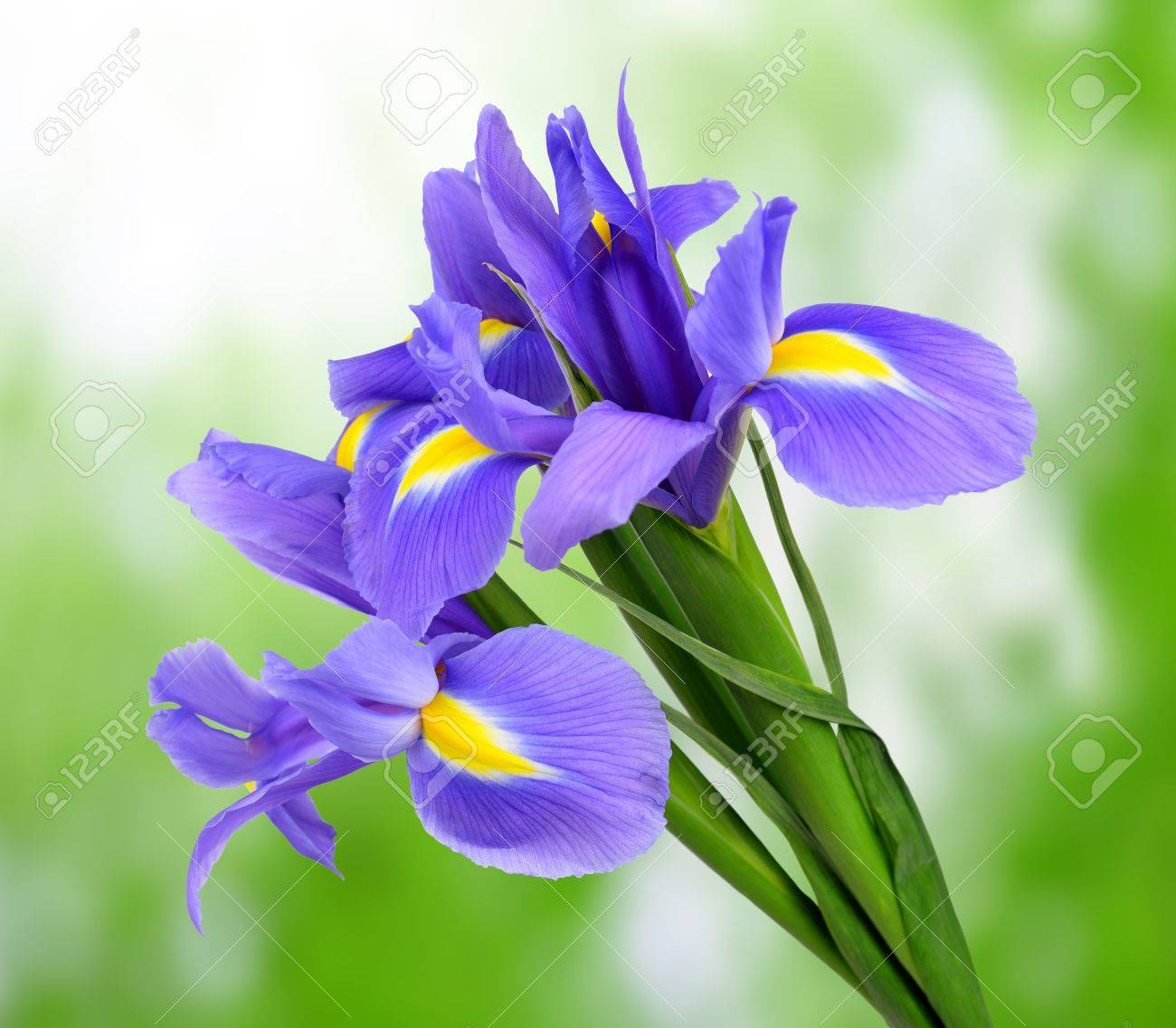 Purple iris flower on green background stock photo picture and purple iris flower on green background stock photo 19431851 izmirmasajfo Images