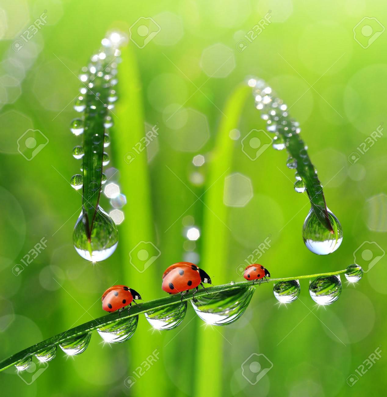 fresh morning dew and ladybird - 22752644