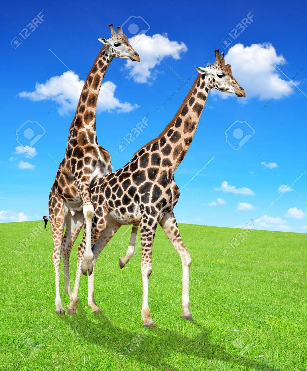 キリンの交尾 の写真素材 画像素材 Image