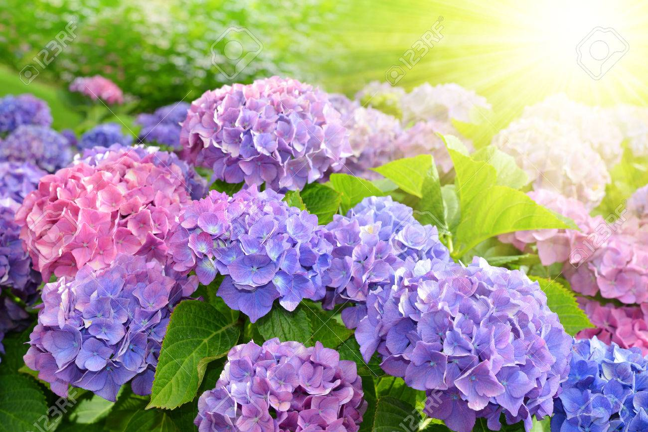 Purple Hydrangea Flower Hydrangea Macrophylla In A Garden Stock