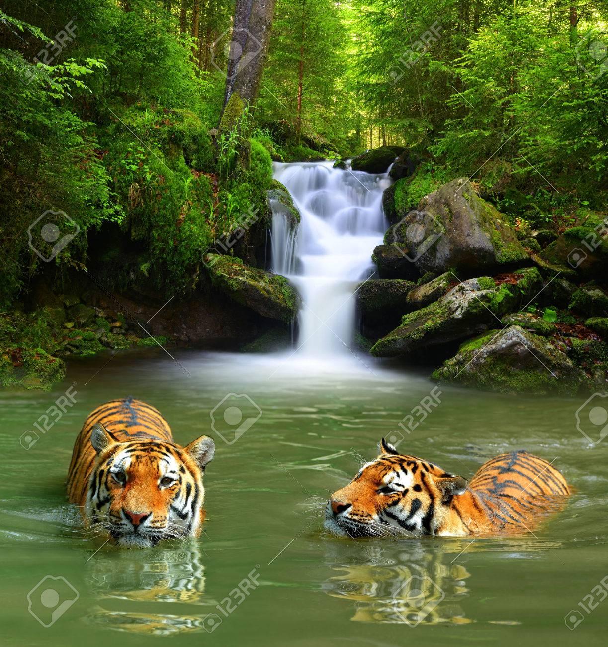 Siberian Tigers in water - 41796032