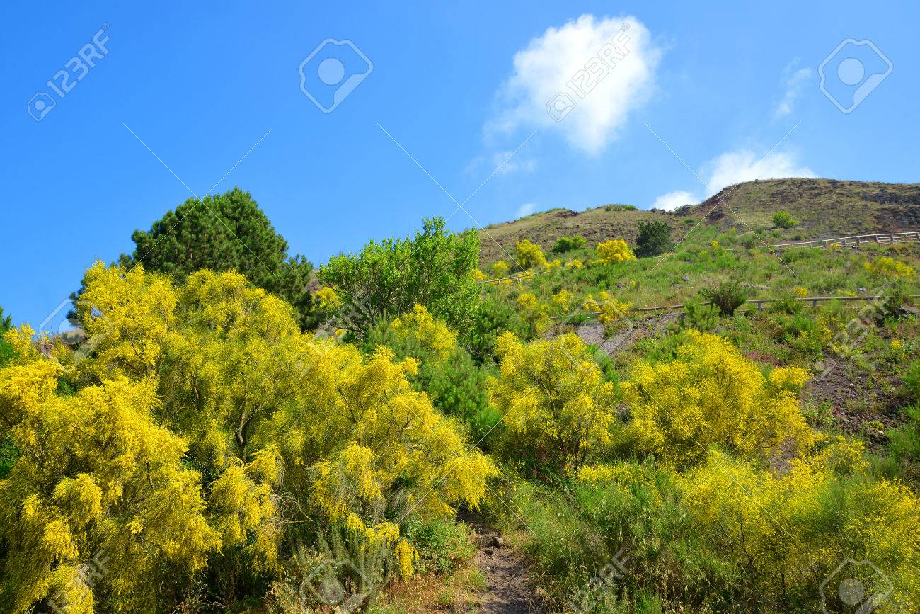 Yellow Flowering Bushes Cytisus Scoparius On Vesuvius Volcano