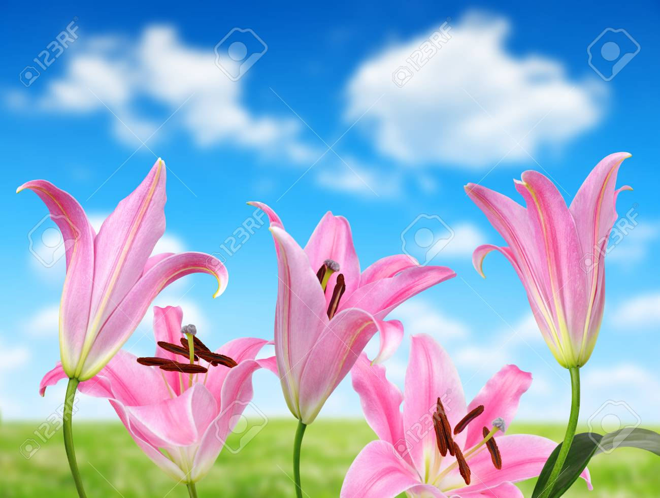 Pink lily flowers on the background blue sky stock photo picture pink lily flowers on the background blue sky stock photo 73932577 izmirmasajfo
