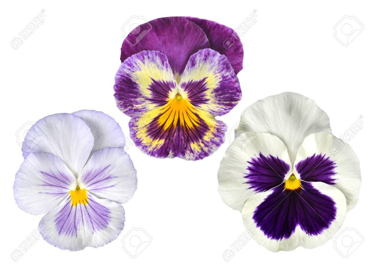 Pansies flower isolated on white background stock photo picture pansies flower isolated on white background stock photo 80464661 mightylinksfo