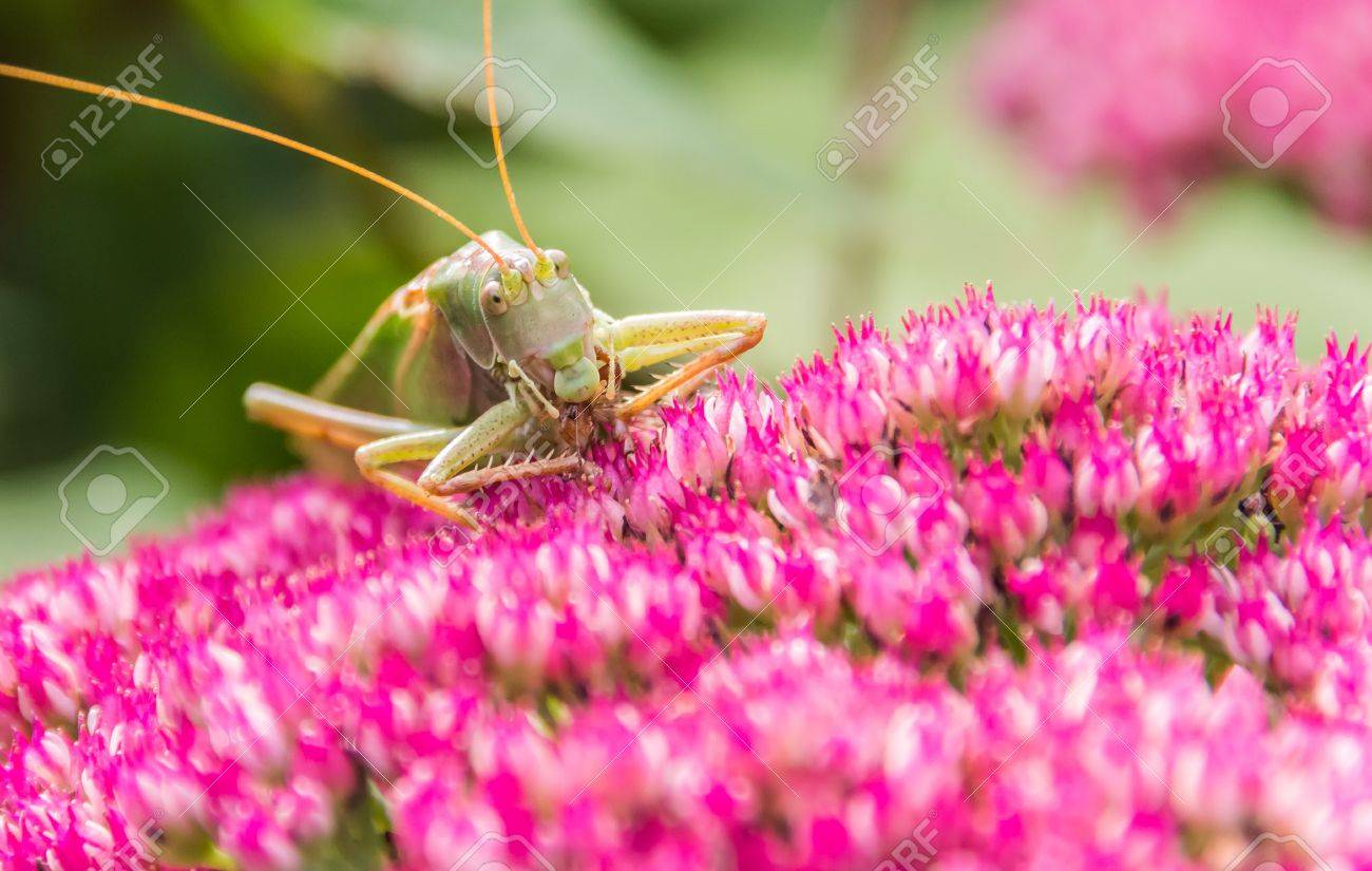 Green grasshopper eating from a pink flower stock photo picture green grasshopper eating from a pink flower stock photo 17767527 dhlflorist Image collections