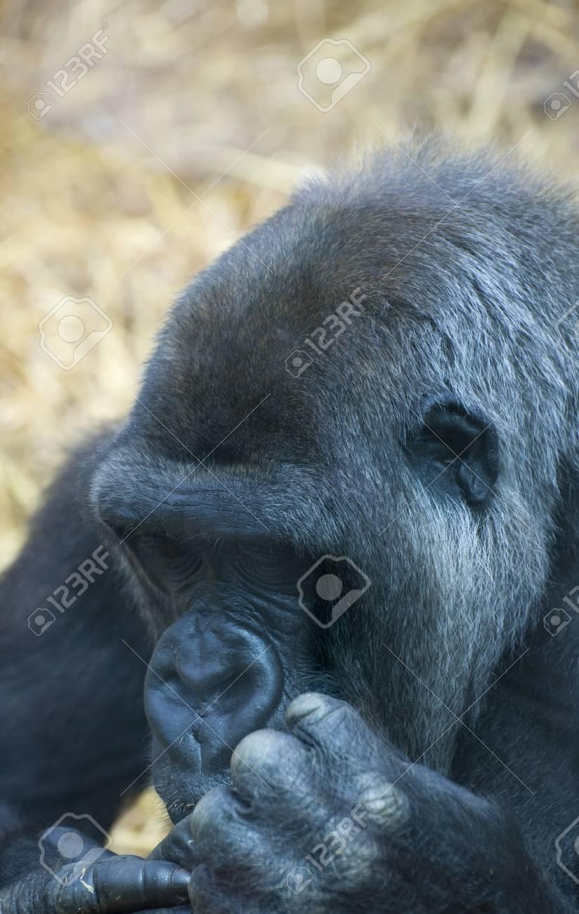 Close up of Western lowland gorilla Stock Photo - 8530371