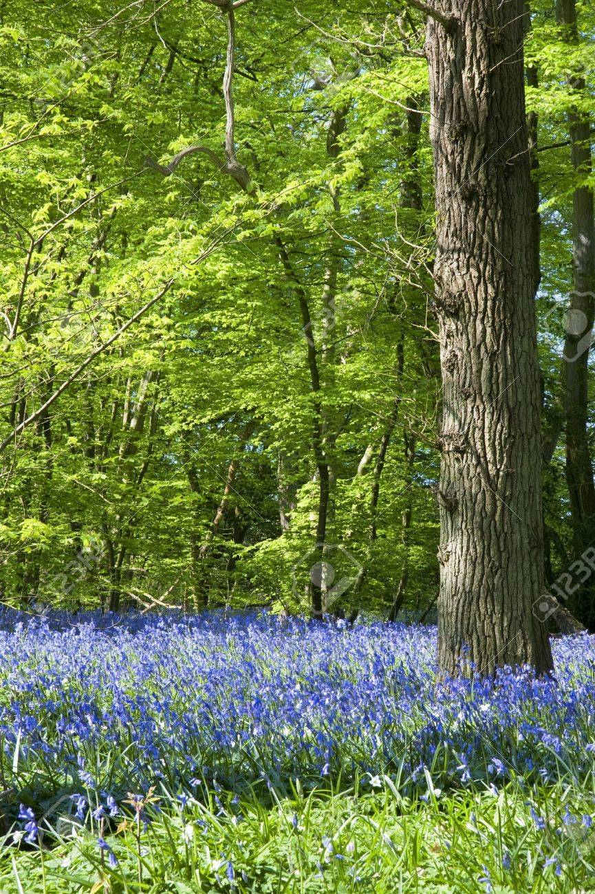 Beautiful warm morning light streaming through trees in bluebell woods in Spring Stock Photo - 9472883