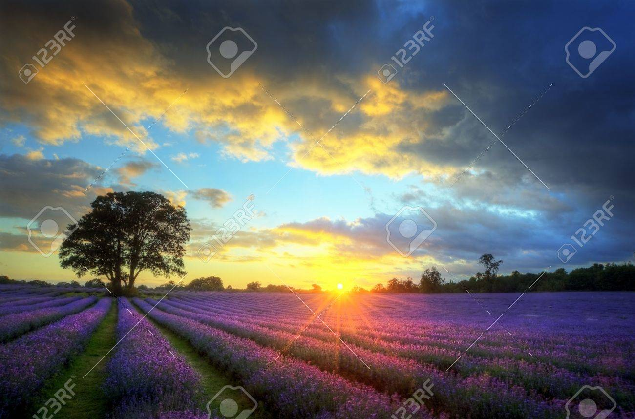 Beautiful image of stunning sunset with atmospheric clouds and sky over vibrant ripe lavender fields in English countryside landscape - 10268511