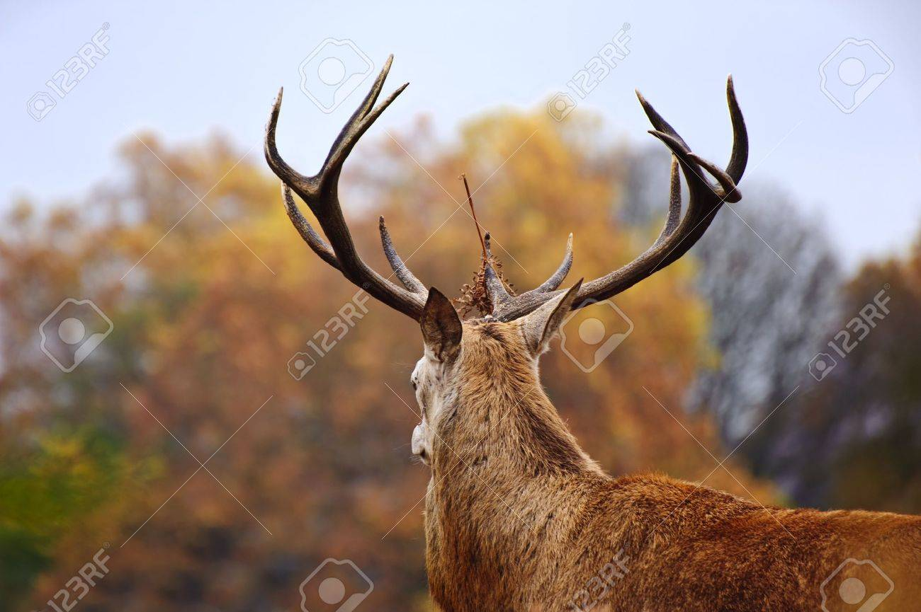 Portrait of majestic powerful adult red deer stag in Autumn Fall forest Stock Photo - 11178734