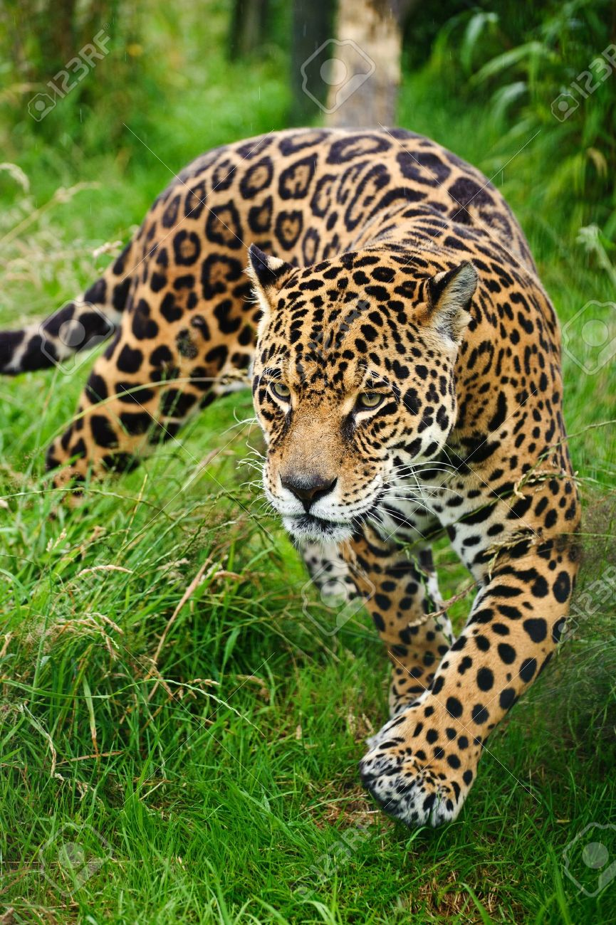 Jaguar animal stock photos pictures royalty free jaguar animal stunning portrait of jaguar big cat panthera onca prowling through long grass in captivity voltagebd Gallery