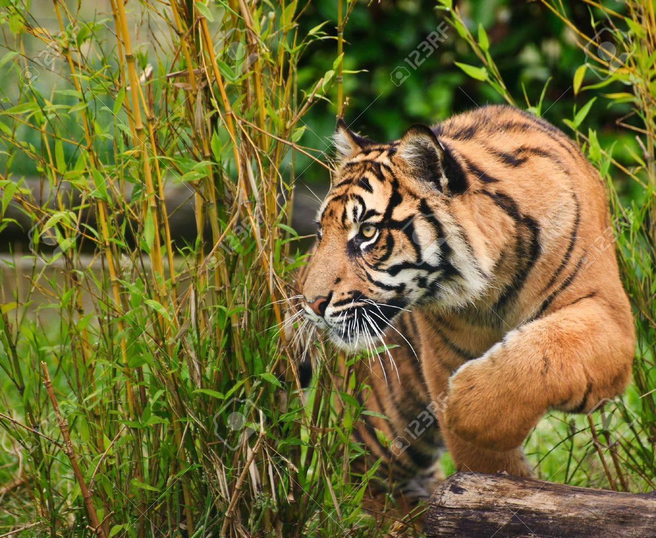 Portrait of Sumatran Tiger Panthera Tigris Sumatrae big cat in captivity - 14753044