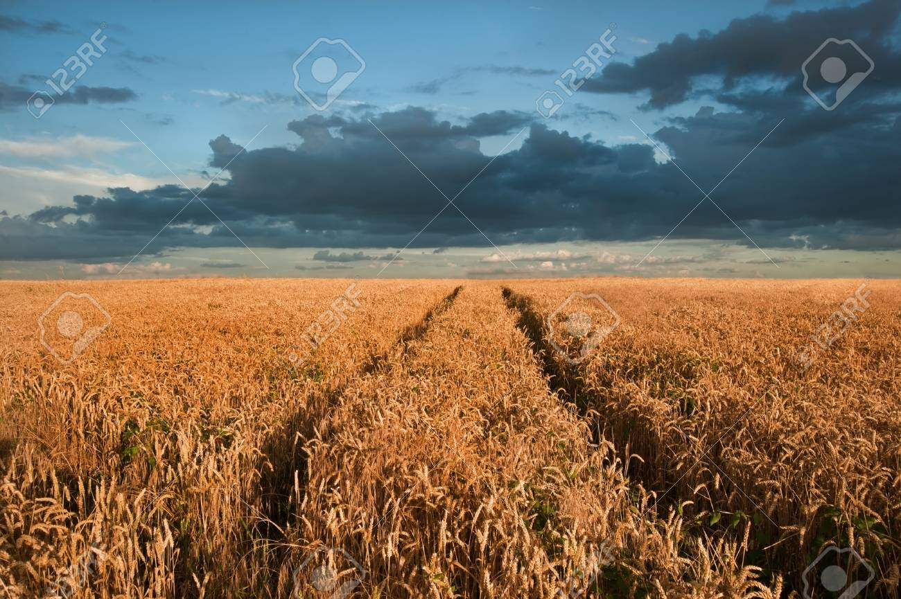 Landscape of golden field of wheat under a dramatic stormy looking sky in Summer Stock Photo - 14830019