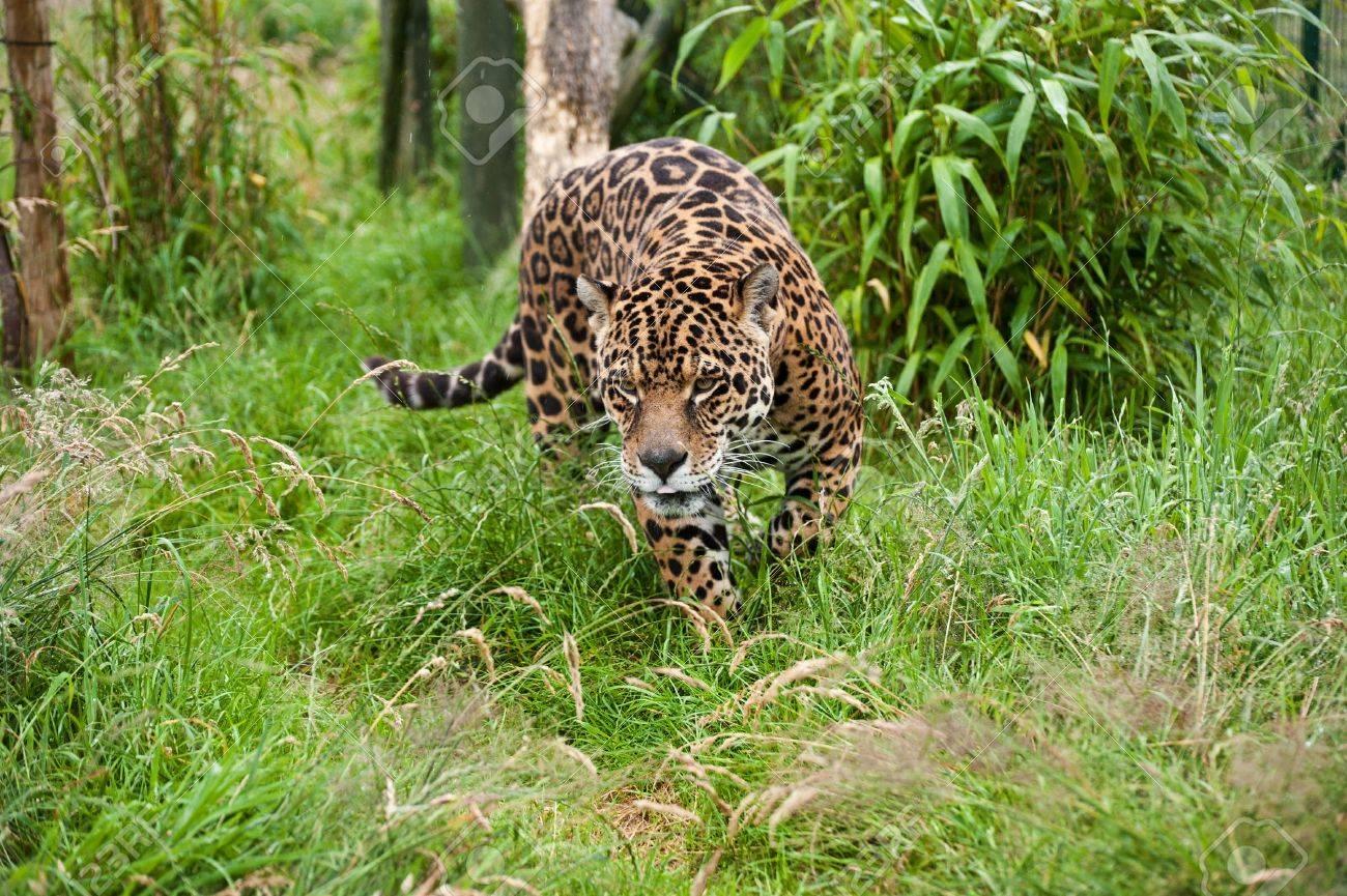 Stunning portrait of jaguar big cat Panthera Onca prowling through long grass in captivity Stock Photo - 14929163