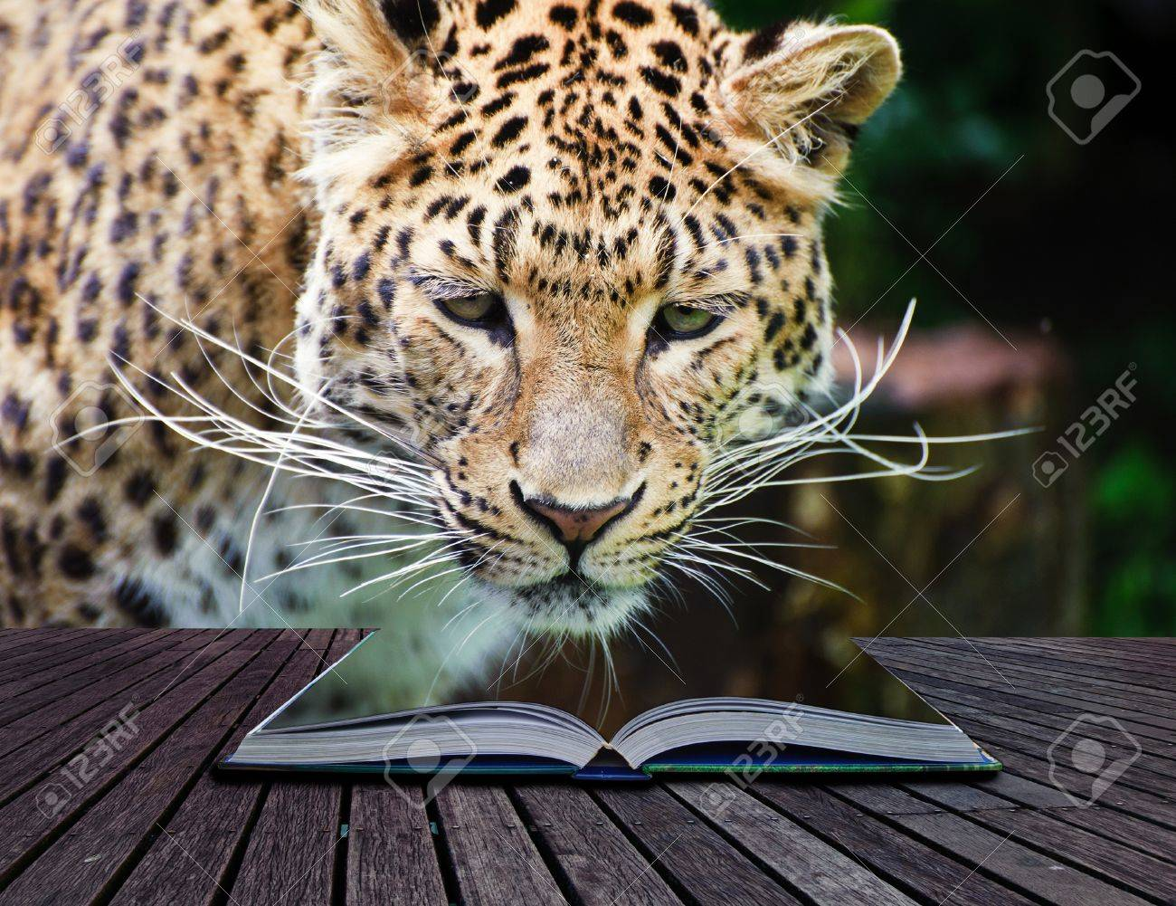 Creative composite image of leopard in pages of magic book Stock Photo - 14929157