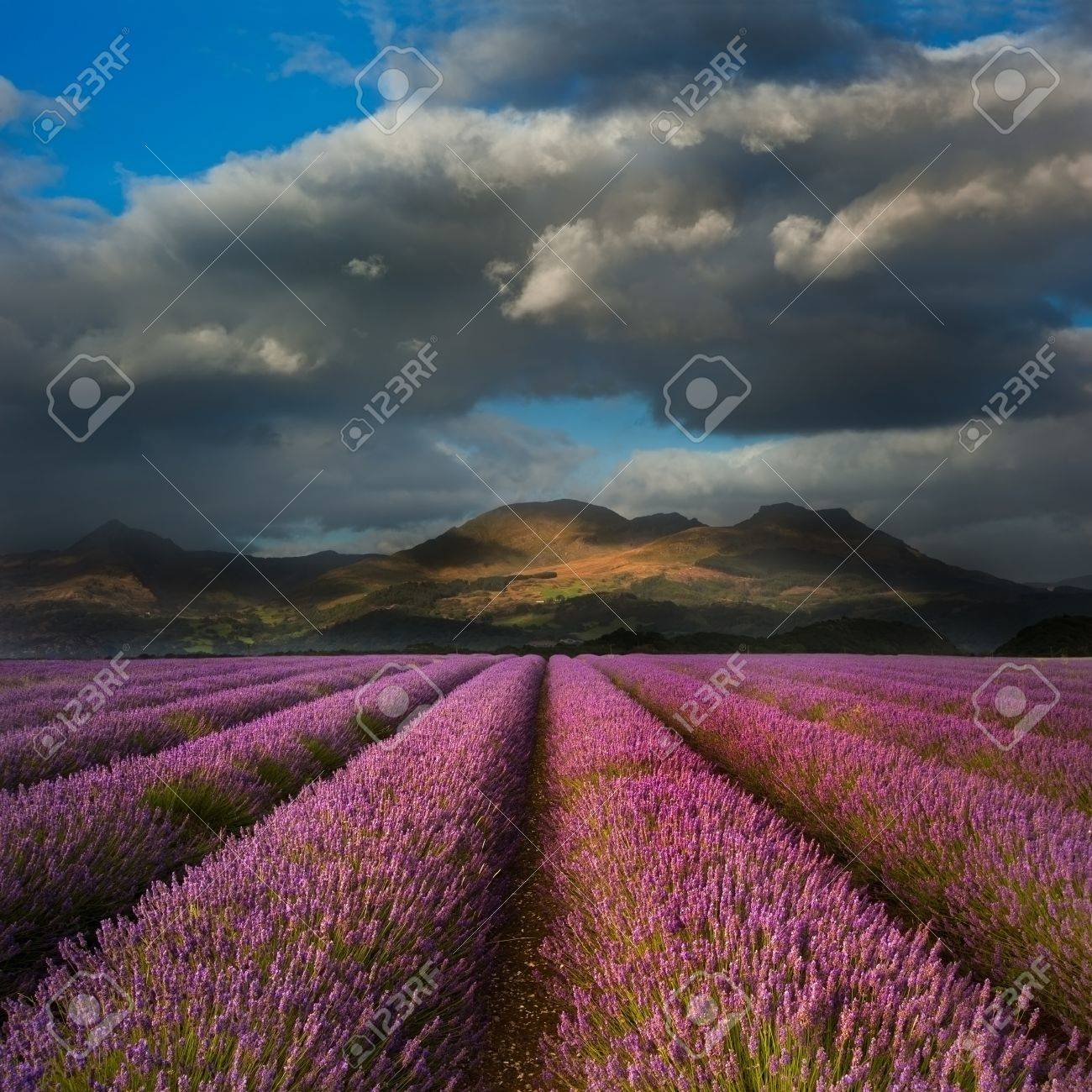 Dramatic sky over landscape of mountain range with lavender field in foreground Stock Photo - 16057425