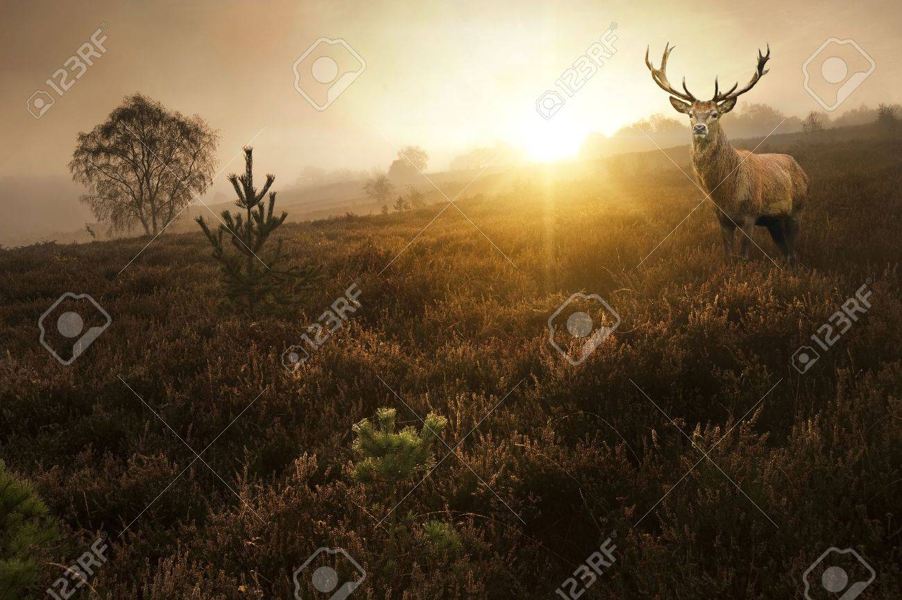 Beautiful forest landscape of foggy sunrise in forest with red deer stag Stock Photo - 18156627