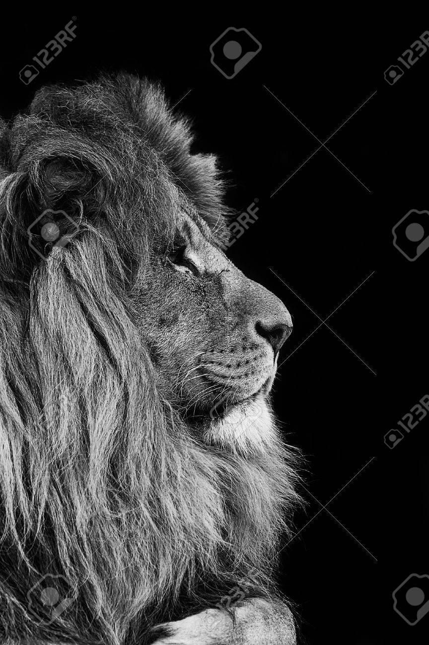 black and white lion stock photos royalty free black and white lion