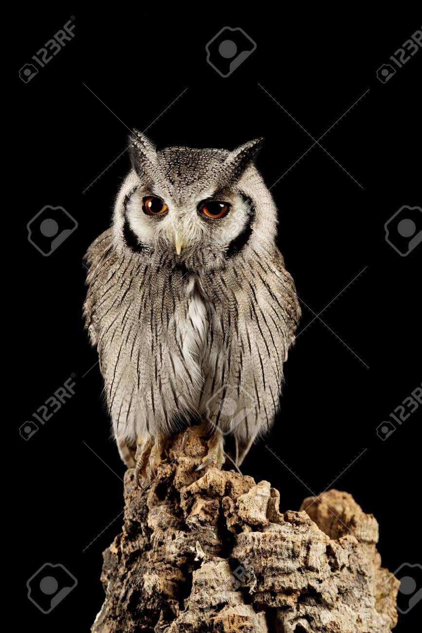 Beautiful Portrait Of Southern White Faced Owl Ptilopsis Granti Stock Photo Picture And Royalty Free Image Image 128072598