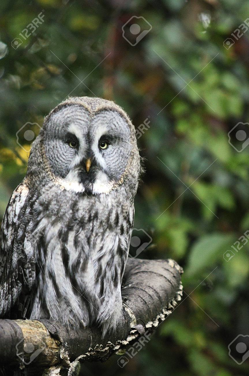 Close-up of a Great horned Owl with very bright yellow eyes looking directly at the camera with eyes and feathers details. Stock Photo - 12801087